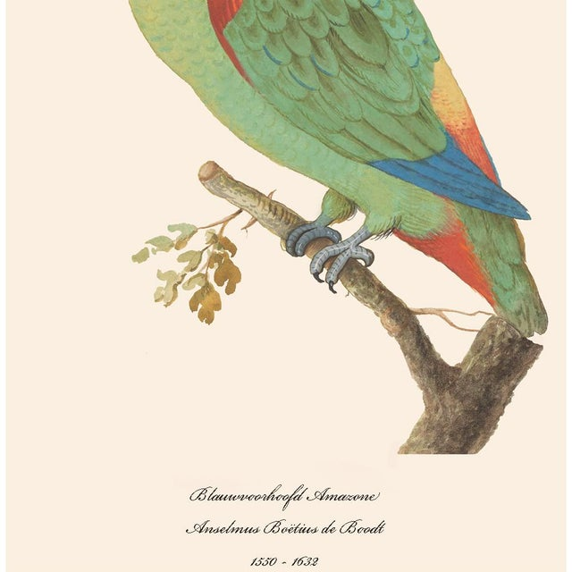 1590s Large Print of Blue-Fronted Amazon by Anselmus De Boodt For Sale - Image 4 of 7