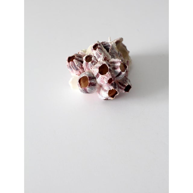 Late 20th Century Barnacle Sea Shell Cluster For Sale - Image 5 of 7