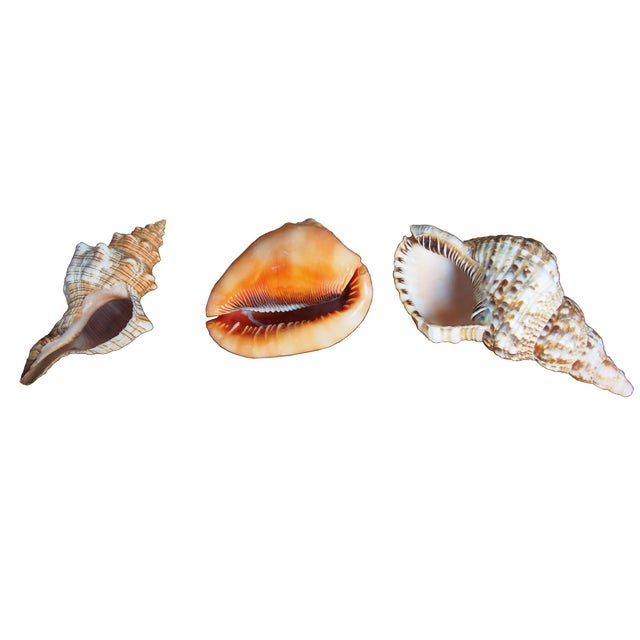 Seashells From Bali Indonesia - Set of 3 - Image 3 of 3