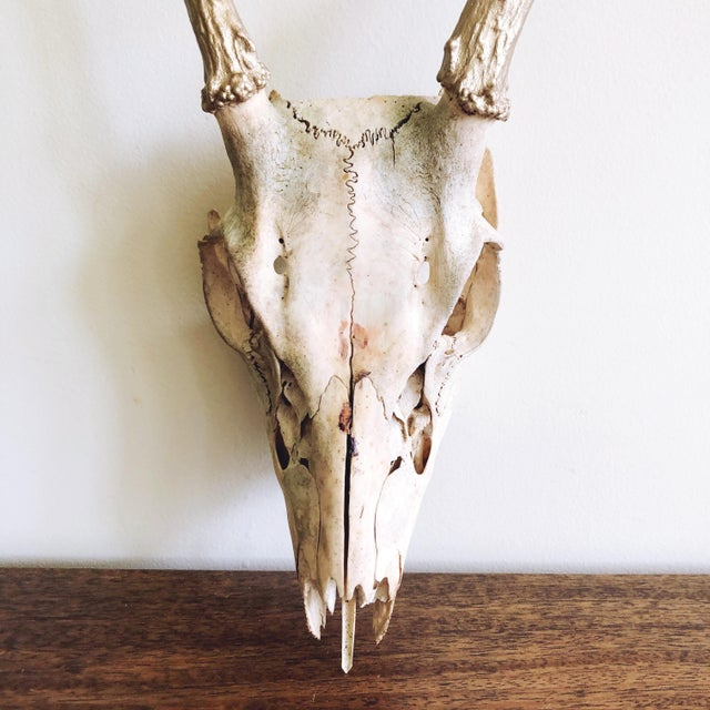 Vintage sun-bleached small Texan deer skull with gold painted antlers.
