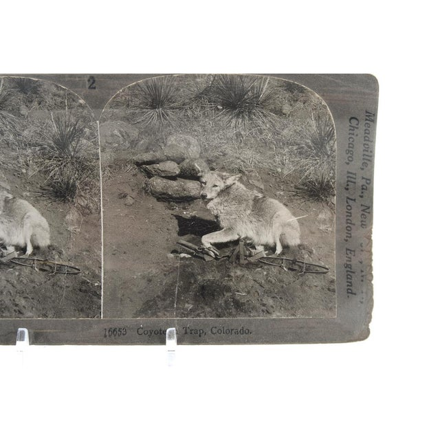 """Coyote in Trap - Original 1900s Keystone Stereo View. Rare. Size: 4"""" x 6"""" A beautiful piece that will add to your décor!"""