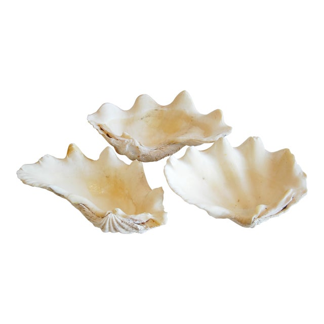 Antique Nautical Seashells Clamshells - Set of 3 - Image 1 of 7