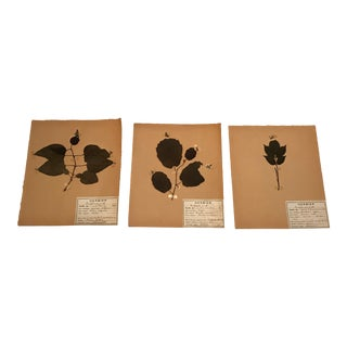20th Century French Unframed Herbier/Botanical Floral Art - Set of 3 For Sale