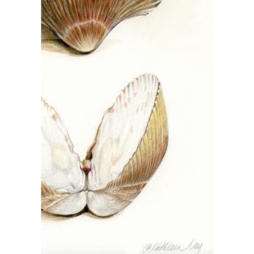 """Contemporary Contemporary Natural History Drawing, """"Sea Shells"""" For Sale - Image 3 of 5"""