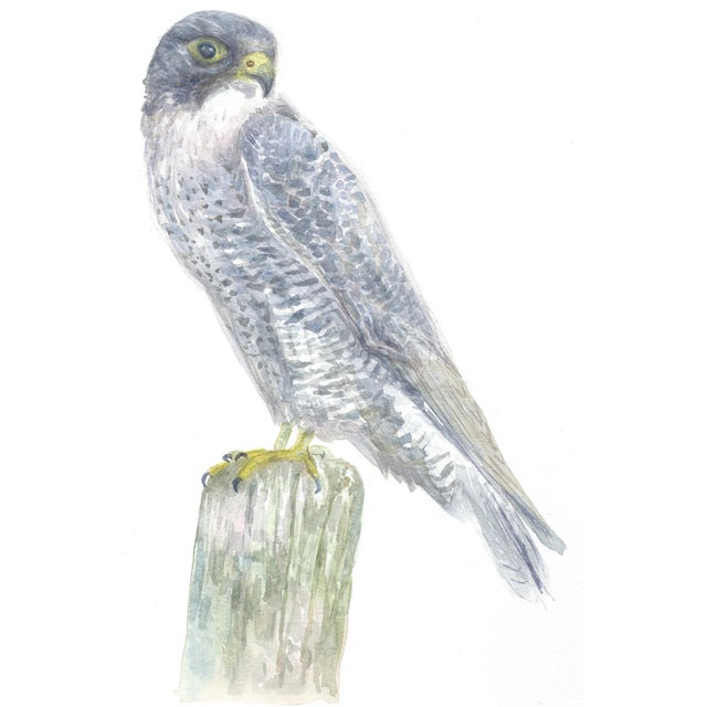 Peregrine Falcon - Print of an Original Watercolor - Image 1 of 2