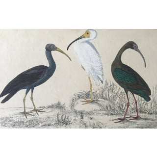 19th Century Oliver Goldsmith Ibis Birds Engraving For Sale