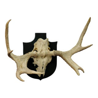 Moose Trophy From A Noble Estate In Germany Shot In Oeland 1956 For Sale