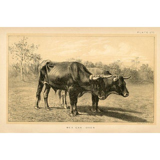 Mexican Oxen, 19th C. Lithograph For Sale