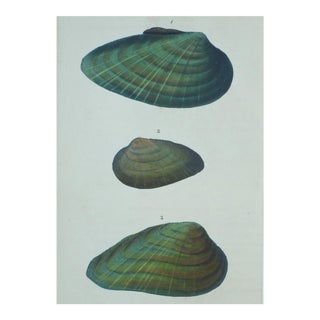 Original Green Mussel Engraving C. 1803