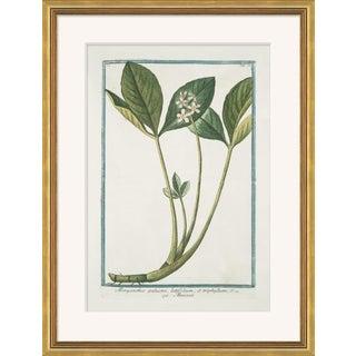 Hortus Romanus 1772-1793 XXXIX Framed Art Print For Sale