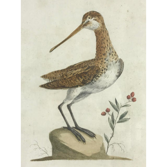 Figurative 18th Century Snipe Bird Print Hand Colored Engraving by Saverio Manetti For Sale - Image 3 of 5