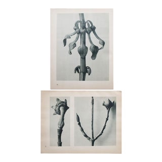 1935 Karl Blossfeldt Double-Sided Photogravure N21-22 For Sale