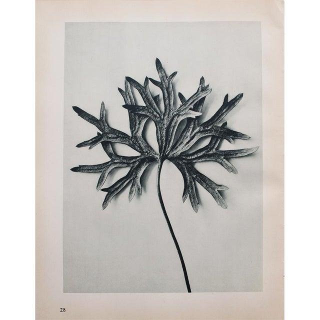 Karl Blossfeldt Double Sided Photogravure N27-28 - Image 4 of 8