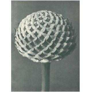 1928 Cephalaria by Karl Blossfeldt, Original Period Photogravure N77 Preview