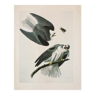 1966 Vintage Cottage Print of Black-Winged Hawk by Audubon For Sale