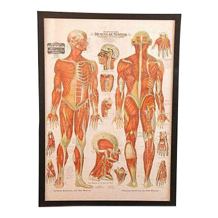 Antique Large Professionally Framed Linen Anatomy Muscular System Medical Chart For Sale