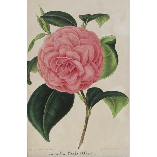A lovely Alberto camellia hand-glazed chromolithograph printed in Belgium, by Verschaffelt, 1854. It is displayed in a...