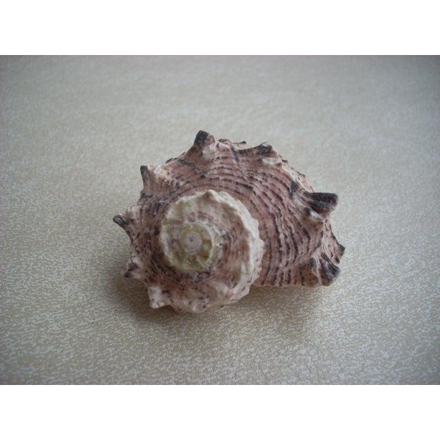 Natural Turban Seashells- Set of 15 - Image 5 of 5