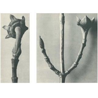 1928 Karl Blossfeldt Original Period Photogravure N20 of Cornus Nuttallii Preview