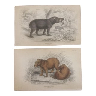 Mid 19th Century Antique American Tapier & Hydrochasrus Cariai Lithographs - A Pair For Sale