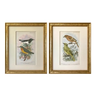 Antique Lithographs of Song Birds Ibis 1905 - a Pair For Sale