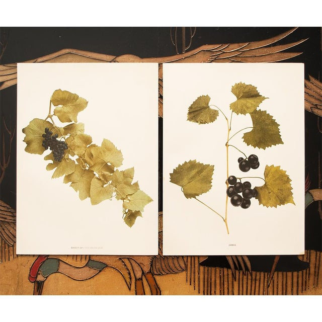 1900s Original Grapes Photoengravings by Hedrick - Set of 2 For Sale - Image 10 of 12