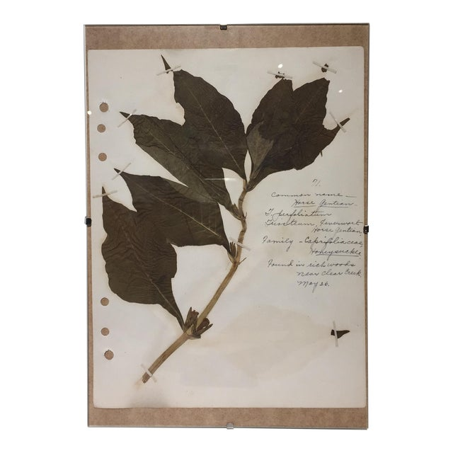Vintage Horse Gentian Botanical Journal Page - Image 1 of 5