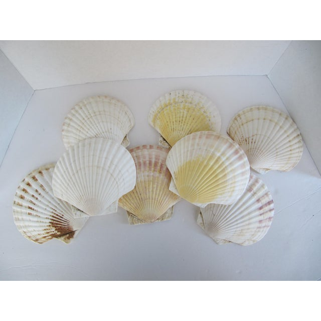 Natural Sea Shells - Set of 8 - Image 3 of 6