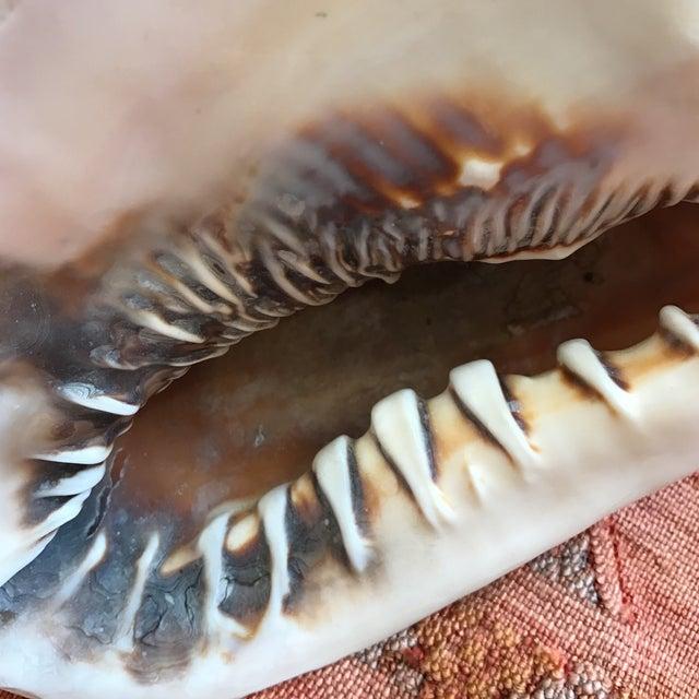 Queen Helmet Conch Seashell - Image 8 of 9