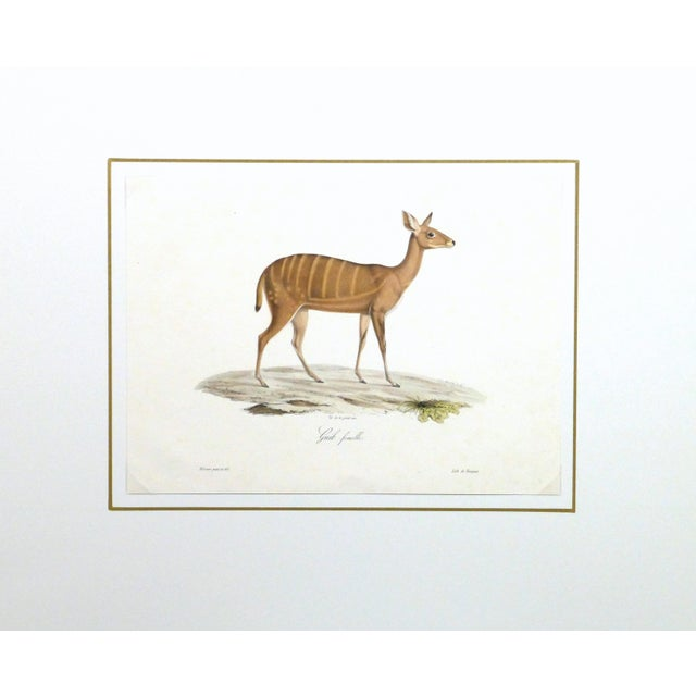 19th-Century Bushbuck Deer PrintEngraving - Image 4 of 4