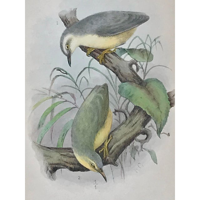 Illustration Antique Lithograph of Birds Isis Ornithological Journal 1909 For Sale - Image 3 of 7