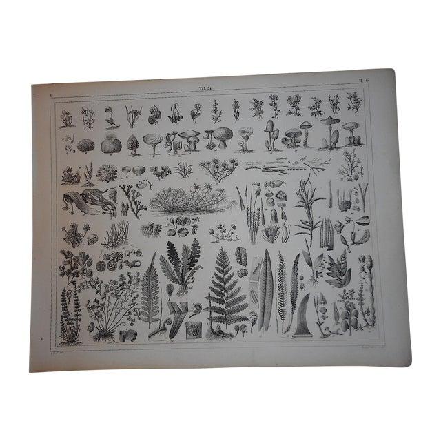 Antique Botanical Engraving - Image 1 of 3