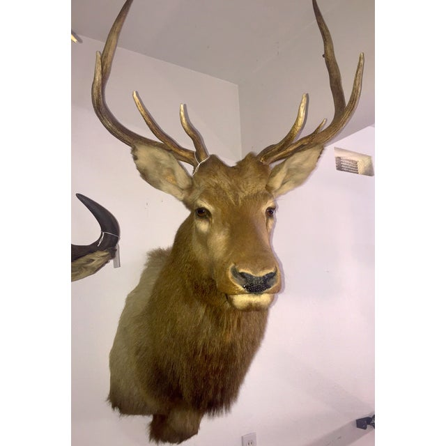 Rocky Mountain Elk Taxidermy Mount - Image 3 of 6
