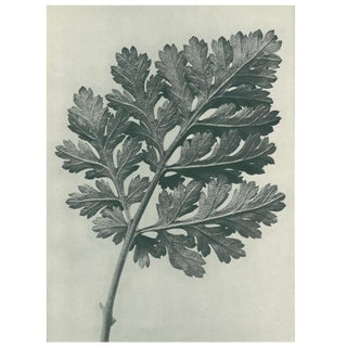 1928 Original N50 Feverfew Chrysanthemum Photogravure by Karl Blossfeldt For Sale