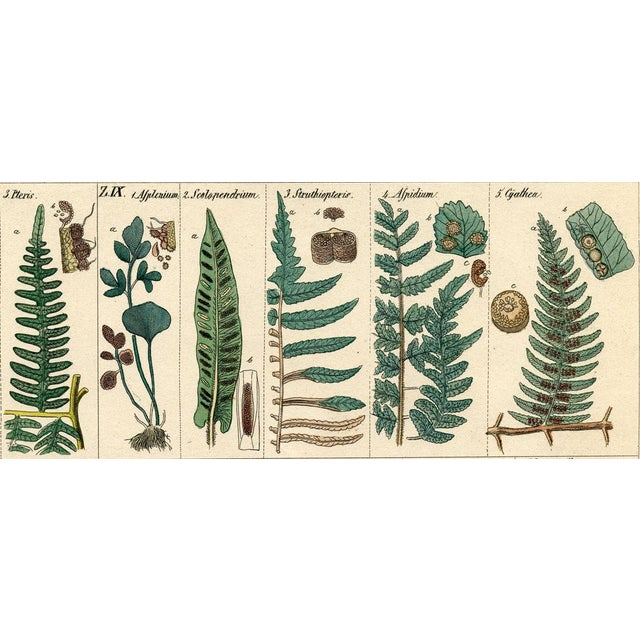 Original hand-colored lithograph from a 1840s German natural history folio. This botanical print shows members of the fern...