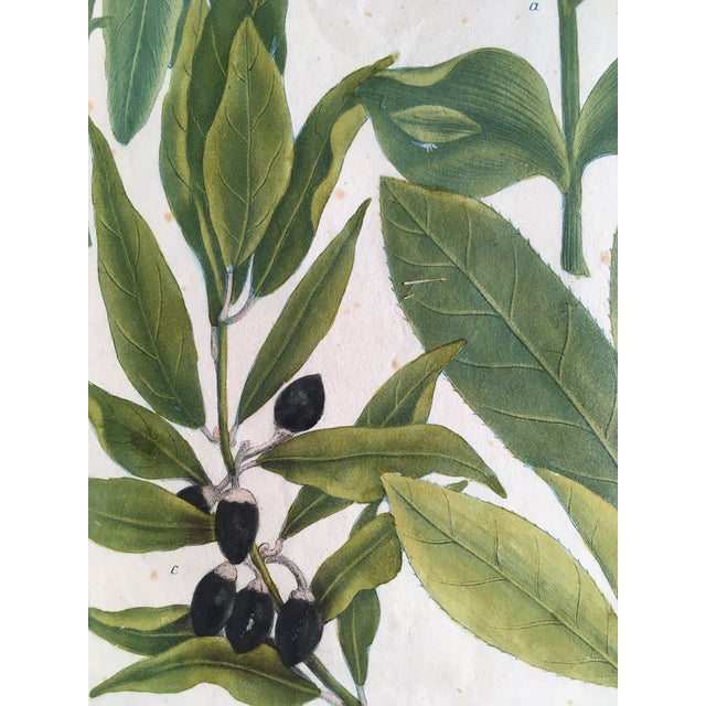 Mid 18th Century Antique Johann Wilhelm Weinmann Olive Branches Print For Sale - Image 6 of 11