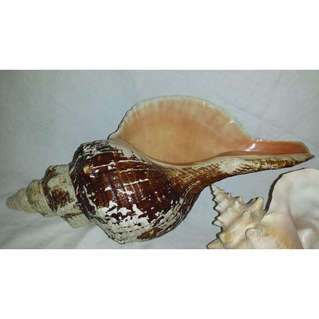 Contemporary Huge Nautical Natural Conch Shells - a Pair For Sale - Image 3 of 6