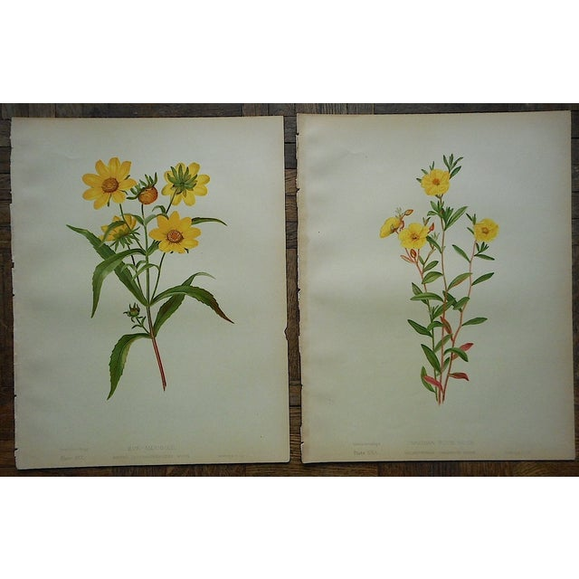 Antique Botanical Lithographs - A Pair - Image 2 of 3