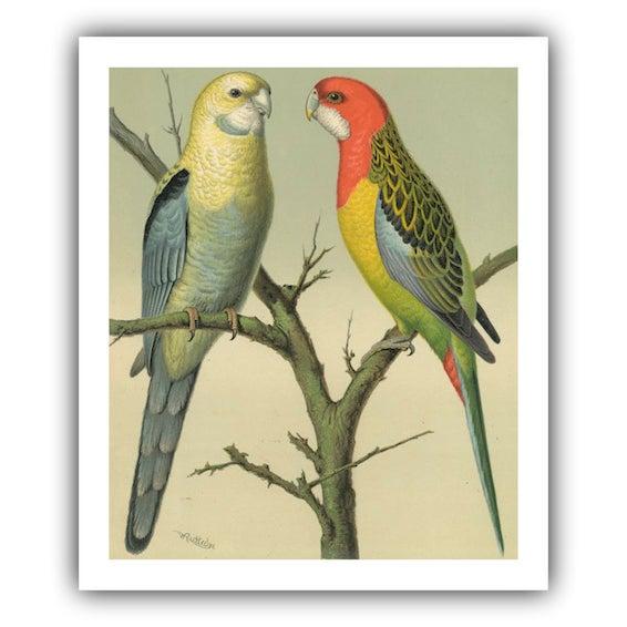 Antique '2 Parrots' Archival Print - Image 2 of 3