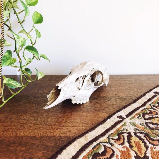 Rustic Vintage Texan Deer Skull For Sale - Image 3 of 5