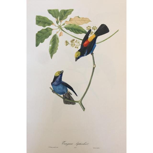 1st Edition Full Color Lithographs of Tropical American Birds - Set of 30 For Sale - Image 10 of 13
