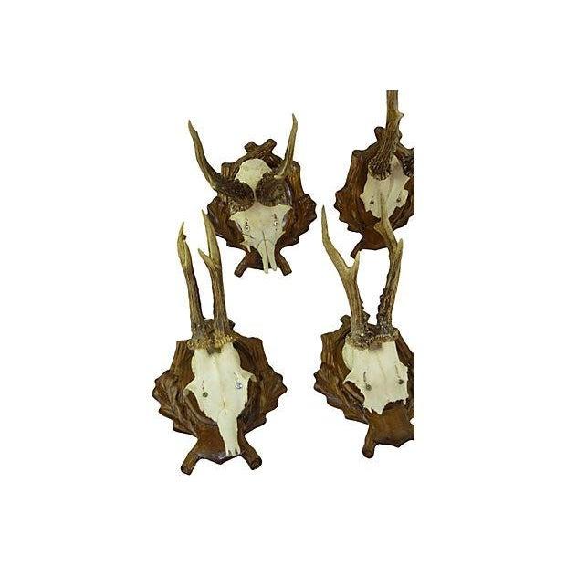 Antique Deer Antler Trophy Mount - Set of 5 - Image 4 of 6