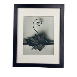 Framed Antique Botanical Blossfeldt Print - No. 49 For Sale
