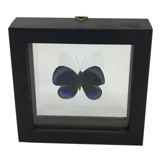 Buttterfly Mounted in a Shadow Box Frame For Sale