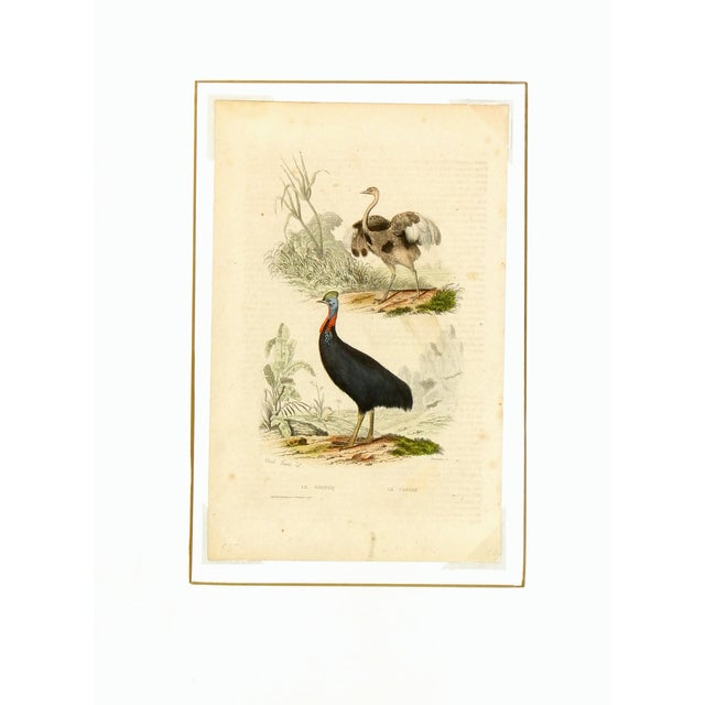 Antique Rhea & Cassowary Engraving - Image 3 of 3