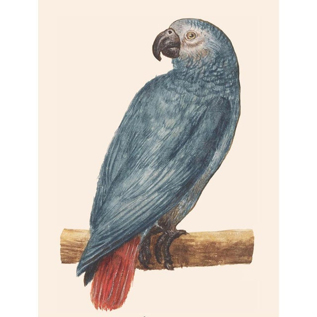 American Classical XL 1590s Gray Red-Tailed Parrot Print by Anselmus De Boodt For Sale - Image 3 of 8