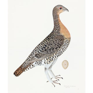Capercaillie Hen Plate 28 by Olof Rudbeck (Cfa-Wd) For Sale