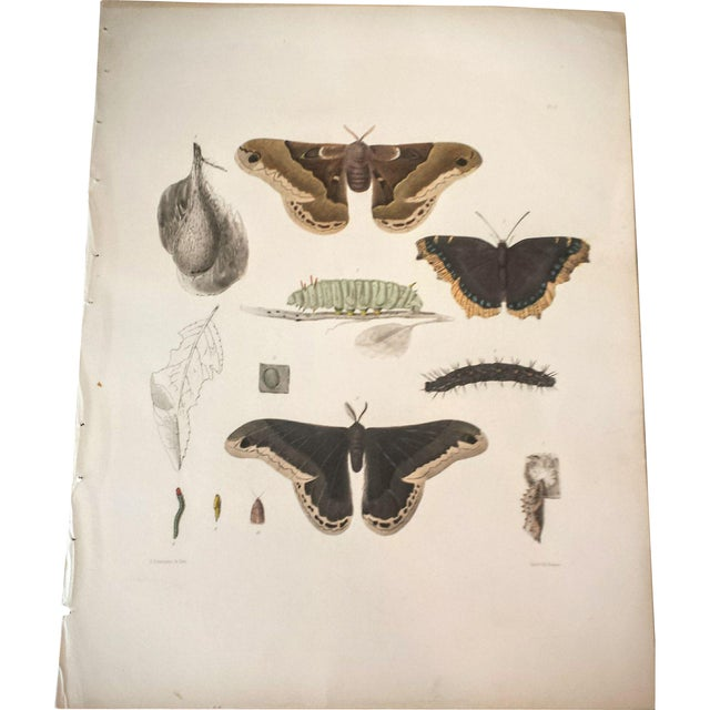 Antique 1854 Emmons Entomology Moth Lithograph - Image 1 of 2