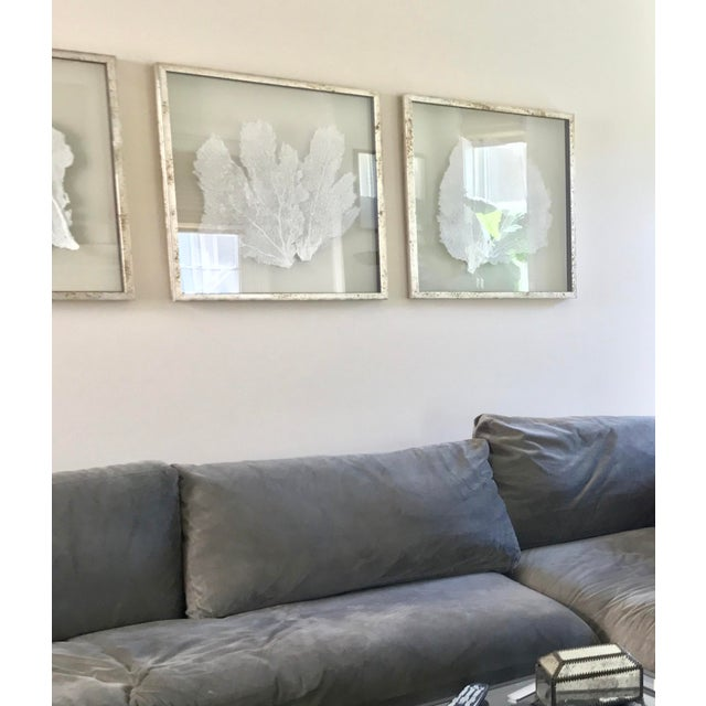 Favorite Giant Natural Sea Fans Triptych Framed in Acid Washed Distressed  AX96