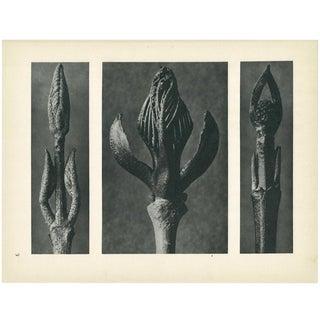 1928 Karl Blossfeldt Original Period Photogravure N9 For Sale